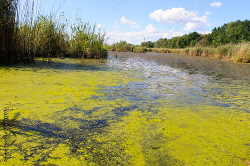 Fotografija Lake with green algae and duckweed on the water surface