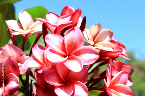 Hawaiian plumeria pink flower