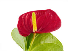 Red Anthurium Against A White Background #4