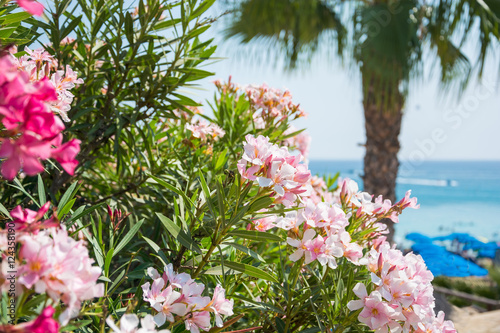 Fototapety, obrazy: Pink flowers, palm tree and sea views on the coast of Cyprus