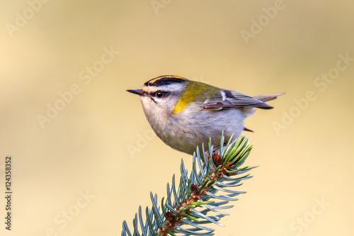 Fotografie, Obraz  Sommergoldhähnchen der leichteste Vogel Europas