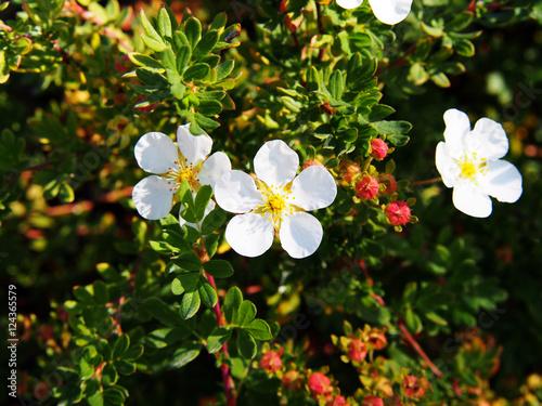 Fotografering  Dasiphora fruticosa syn Potentilla fruticosa 'Abbotswood' - shrubby cinquefoil,