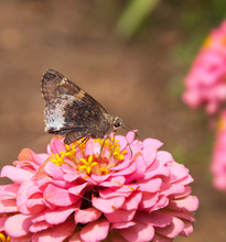 Hoary Edge Butterfly On A Pink...