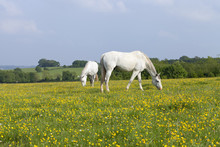 Two White Horses Grazing On A ...