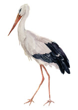 Watercolor White Stork. Ciconia Bird Illustration Isolated On White Background. For Design, Prints Or Background
