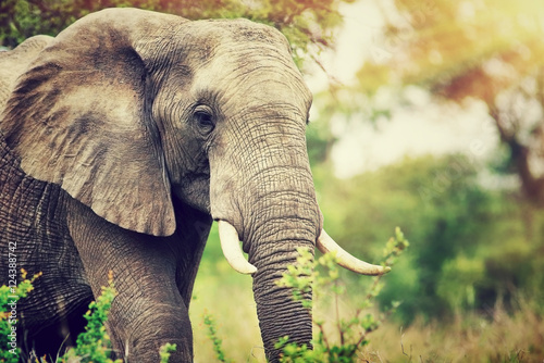 Photo  Wild elephant portrait