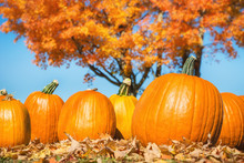 Pumpkins Against Autumn Trees And Blue Sky