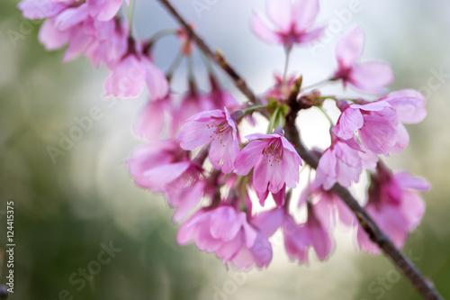 Poster Rose 桜の花