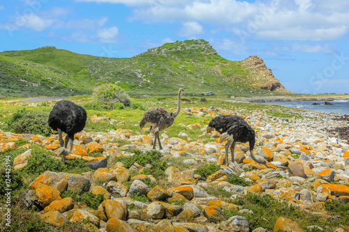 Three wild ostriches in Cape of Good Hope Nature Reserve, Cape Peninsula National Park, South Africa.