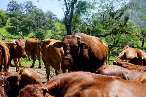 Photo sur Toile Vache Troupeau de vaches, montagnes mexicaine