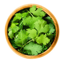 Fresh Coriander Leaves, Also Known As Cilantro, Chinese Parsley And Dhania, In A Wooden Bowl On White Background. Green Coriandrum Sativum. Edible Herb. Isolated Macro Food Photo Close Up From Above.