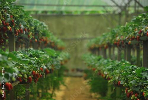 Obraz Plantacja truskawek - fototapety do salonu