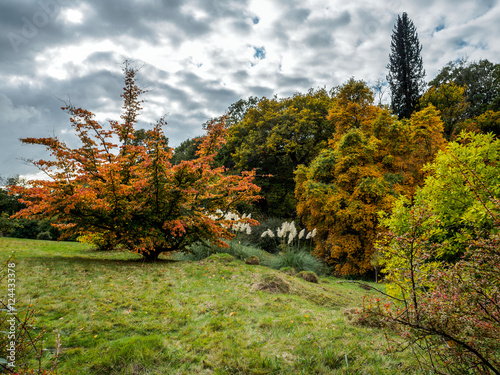 Photo  Prunus Pandora Tree in Autumn