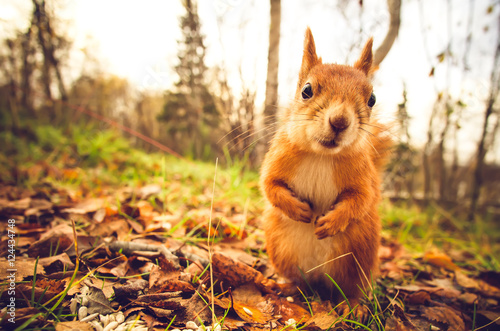 Foto op Canvas Eekhoorn Squirrel red fur funny pets autumn forest on background wild nature animal thematic (Sciurus vulgaris, rodent)
