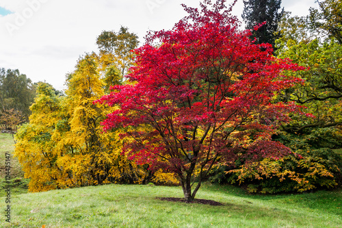 Japanese Maple (Acer palmatum) in Autumn Colours Canvas Print