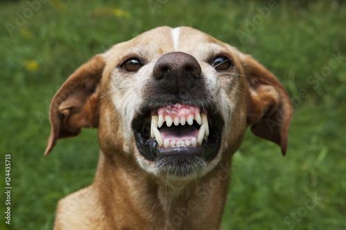 Vicious brown dog. Threatening jaws. Tablou Canvas