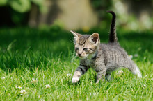 Gray Kitten Running On Meadow