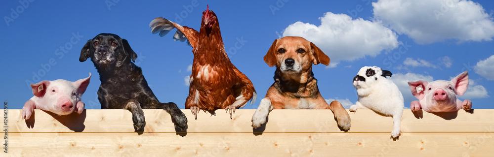 Fototapeta Gruppe von Haustieren schaut über eine Bretterwand, Banner