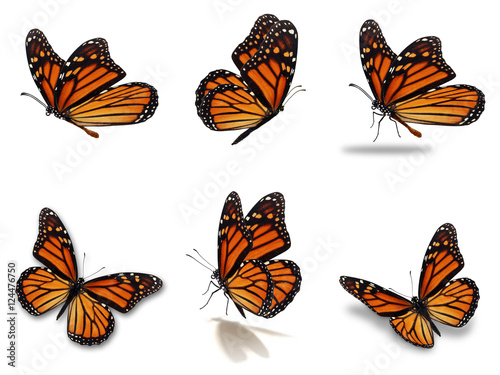 Fototapeta  monarch butterflies set