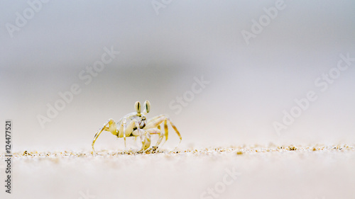 Horned Ghost crab in Koh Muk beach, Thailand