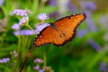 Queen Butterfly (Danaus Gilippus) On Small Lilac Flower