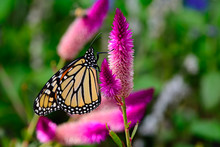 Monarch (Danaus Plexippus) On ...