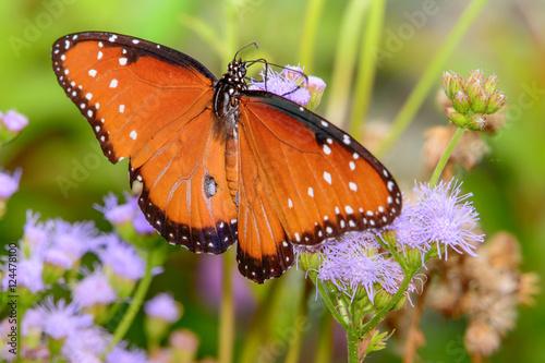 queen butterfly (Danaus gilippus) on small flower