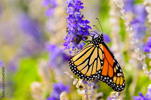 Fotografie, Obraz  monarch (Danaus plexippus) gathering nectar from small violet