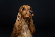Beautiful Young Cocker Spaniel