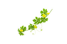 Green Leaves With Yellow Flower Isolated On White Background.