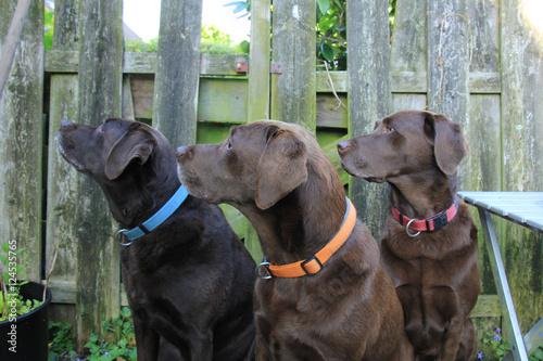Foto  Labrador trio