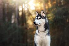 Dog Breed Siberian Husky