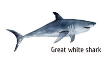 Watercolor Great White Shark. ...