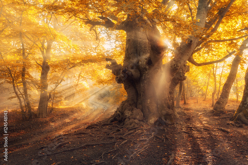 Wall Murals Forest Magical old tree with sun rays in the morning. Forest in fog. Colorful landscape with foggy forest, gold sunlight, yellow foliage at sunrise. Fairy forest in autumn. Fall woods. Enchanted tree