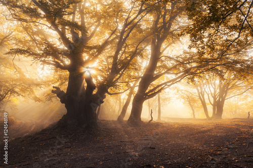 Magical old tree with sun rays in the morning. Forest in fog. Colorful landscape with foggy forest, gold sunlight, yellow foliage at sunrise. Fairy forest in autumn. Fall woods. Enchanted tree