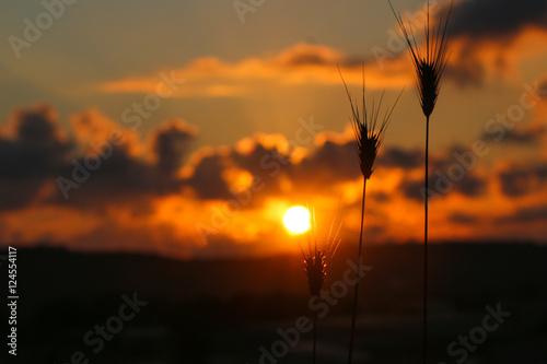 Buğday tanelerinin silüeti Poster