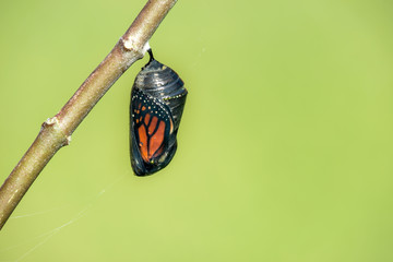 Monarch butterfly chrysalis hanging on milkweed branch. Natural green background with copy space.