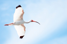 Flying Ibis With Blue Sky Background
