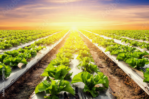 Foto op Plexiglas Cultuur lettuce plant on field vegetable and agriculture sunset and ligh
