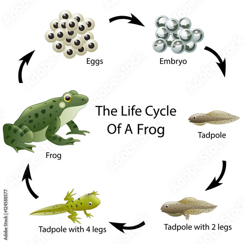 Fotografie, Obraz  The life cycle of a frog