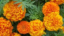 Beautiful Marigolds (Tagetes) Flowers