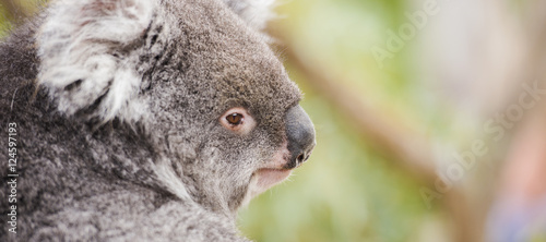 Australian koala outdoors in Tasmania, Australia