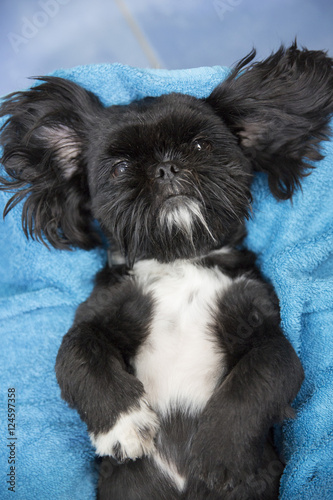 Cute black dog with white chest lying on back Canvas Print
