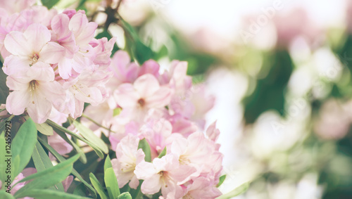 Fototapeta Flowering of fresh tender Rhododendron maximum pink flowers with green leaves at spring time. Natural floral seasonal holiday background with copy space. obraz na płótnie