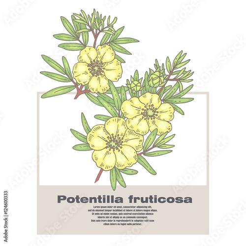 Fotografia, Obraz Illustration of medical herbs Potentilla fruticosa.