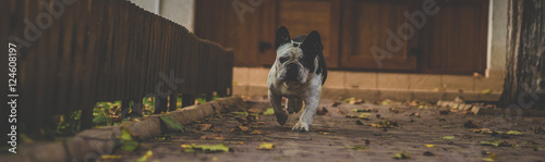 Fotobehang Franse bulldog Adolph The French Bulldog