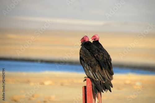 Two turkey vultures sitting on a post in the Paracas nature reserve in Peru