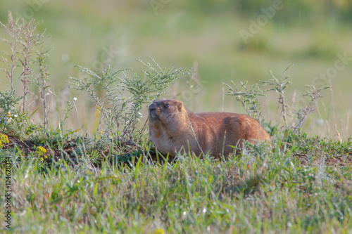 Printed kitchen splashbacks Squirrel beautiful marmots on the green meadow