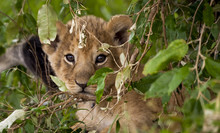 Adorable Lion Cub Gazing At Viewer Through Foliage Next To His Mother's Tail