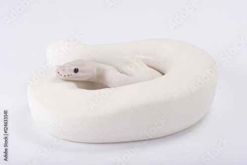 Ball python,Python regius, leucistic - Buy this stock photo and